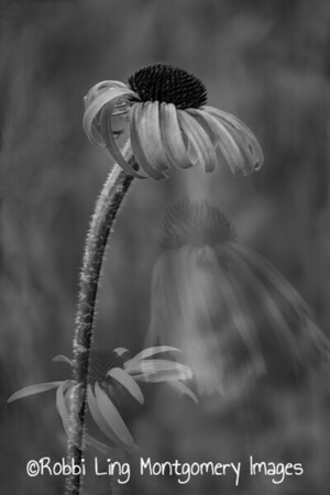 Coneflower Dreams