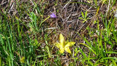 Common Butterwort,