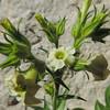 Desert Tobacco (Nicotiana obtusifolia)