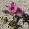 Fremont's Monkeyflower (Mimulus fremontii)