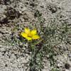 Blazing Star (Mentzelia affinis)