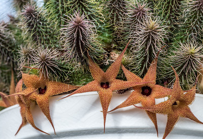 Huernia pillandsii