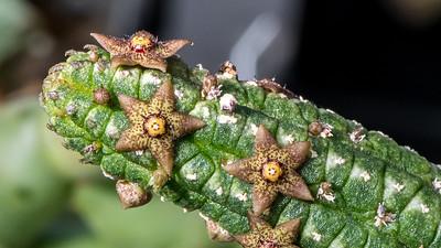 Echidnopsis dammanniana