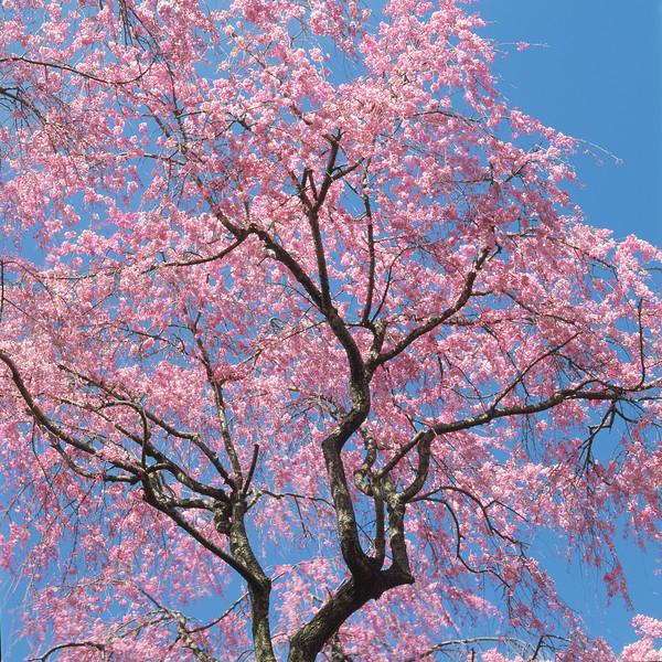 BT Baumblüte Nr. 42-25256780