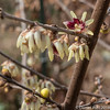 Winter Sweet - Chimonanthus