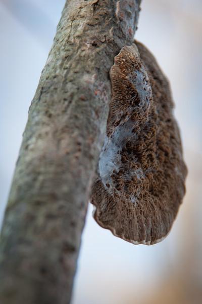 Top of Shelf Fungus on Dangling Broken Vine or Bough