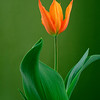 Tulipa 'Ballerina', Tulip
