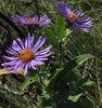New England Aster (Symphyotrichrum novae-angliae)
