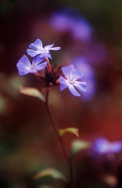 Ceratostigma plumbaginoides, Hardy blue-flowered leadwort