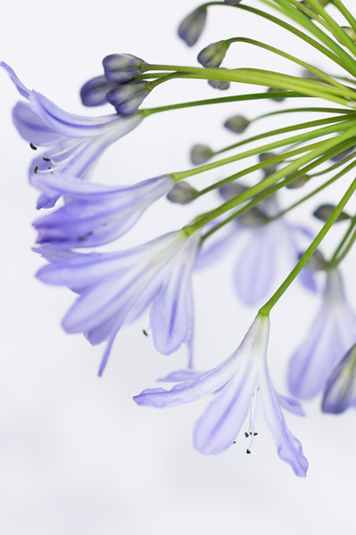 BT Flowers Blue No. Agapanthus africanus, African Lily