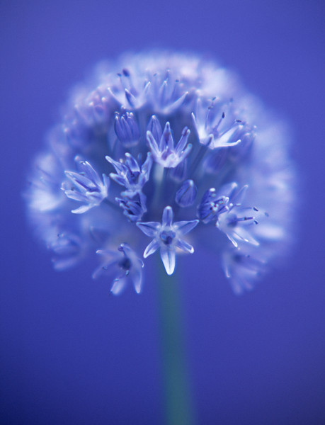 Allium caeruleum, Blue Globe Onion