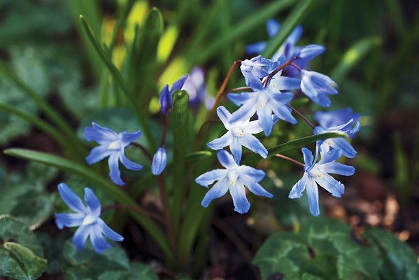 Chionodoxa forbesii 'Blue Giant', Glory-of-the-snow