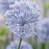 Allium caesium, light blue garlic