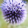 Echinops ritro 'Veitch's Blue', Globe Thistle