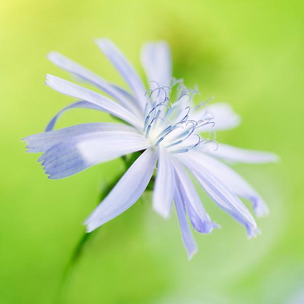 Cichorium intybus, Chicory