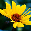 Helianthus salicifolius, Willow-leaved sunflower