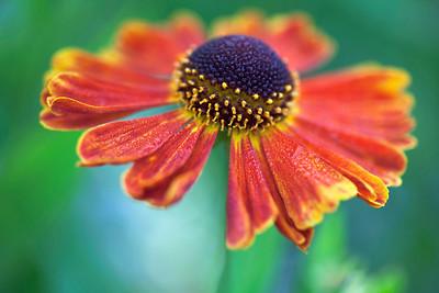 Helenium 'moerheim beauty', Helen's flower.