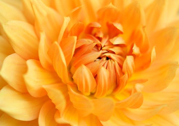 BT Flowers Orange No. Dahlia