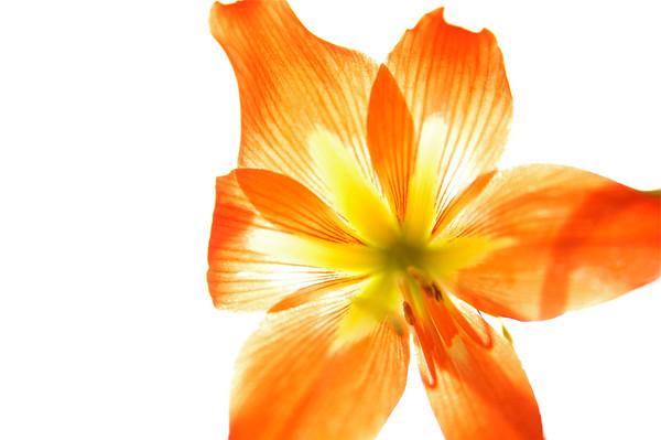 BT Flowers Orange No. 42-33775197
