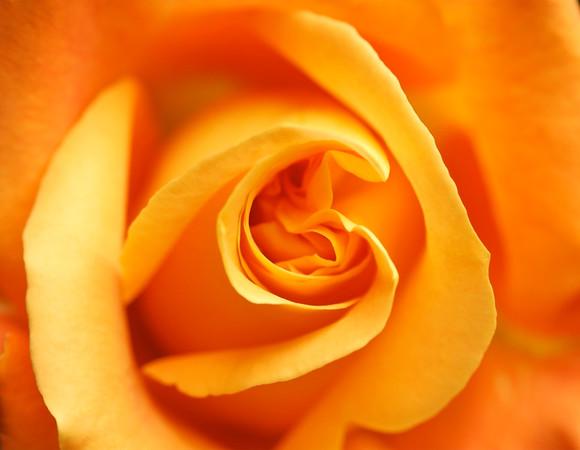 BT Flowers Orange No. Orange rose