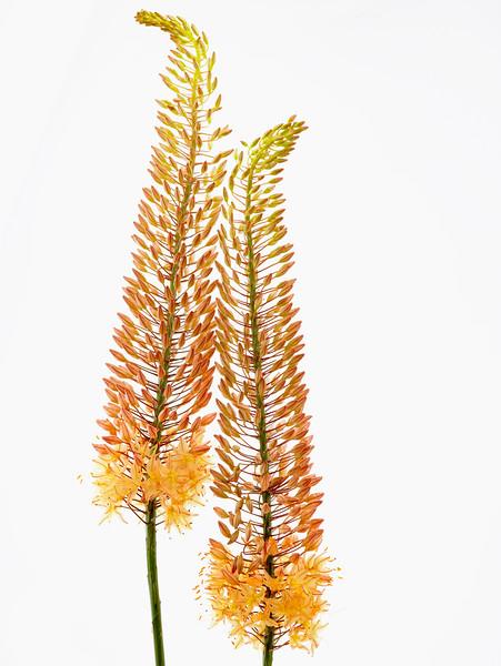 BT Flowers Orange No. 42-44087296