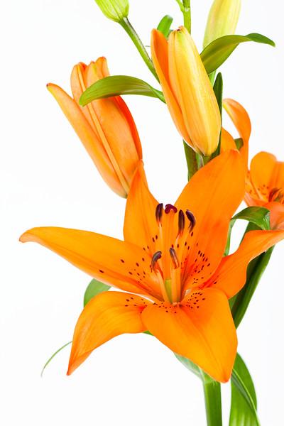 BT Flowers Orange No. 42-22483477