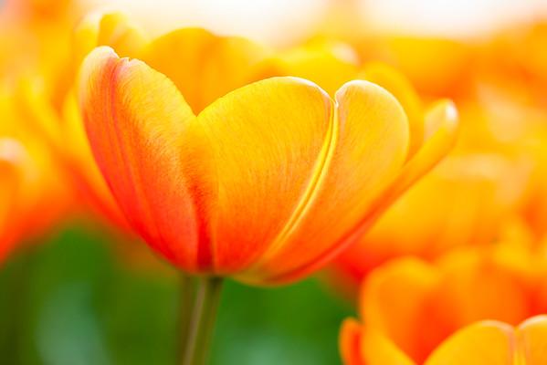 BT Flowers Orange No. 600-03586393
