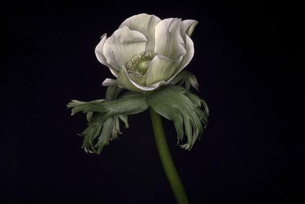 BT Flowers on Black Nr.: 42-63043013