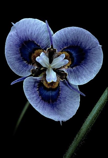 BT Flowers on Black Nr.: 42-75431287