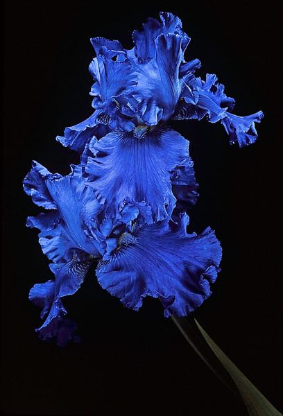 BT Flowers on Black Nr.: 42-77548250