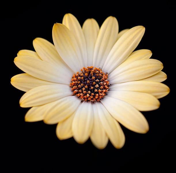 Arctosis, African Daisy