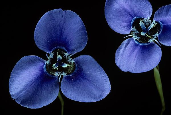 BT Flowers on Black Nr.: 42-75431281