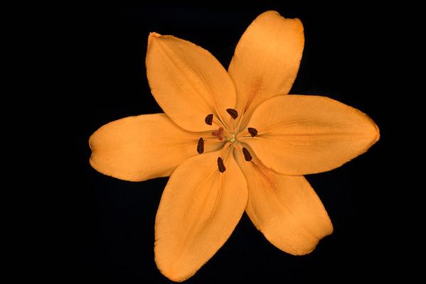 BT Flowers on Black Nr.: 42-63043010