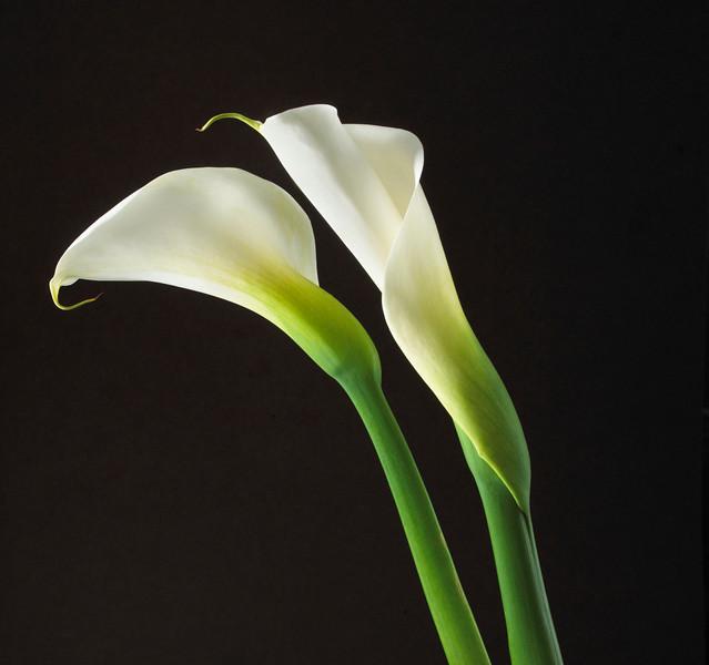 Zantedeschia aethiopica, Arum lily