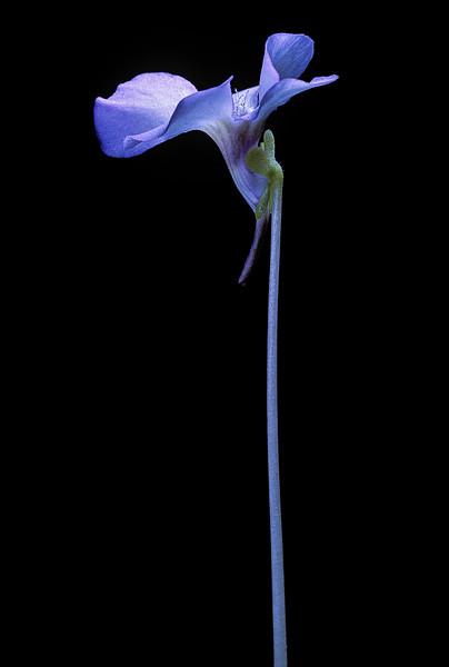 BT Flowers on Black Nr.: 42-79596332