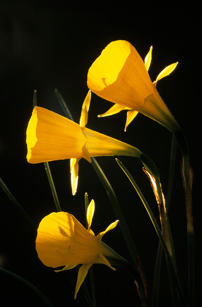 Narcissus bulbicodium, Hoop petticoat daffodil
