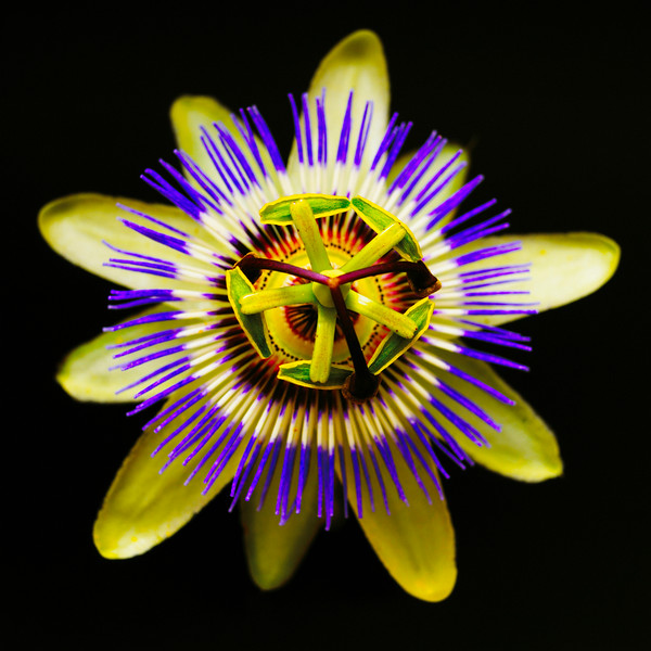 Passiflora, Passion flower