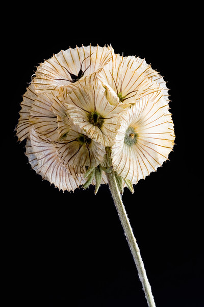 Scabiosa stellata 'Paper Moon', Pincushion flower