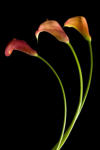 Zantedeschia, Calla lily