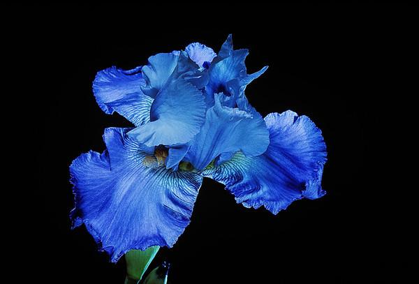 BT Flowers on Black Nr.: 42-77549358