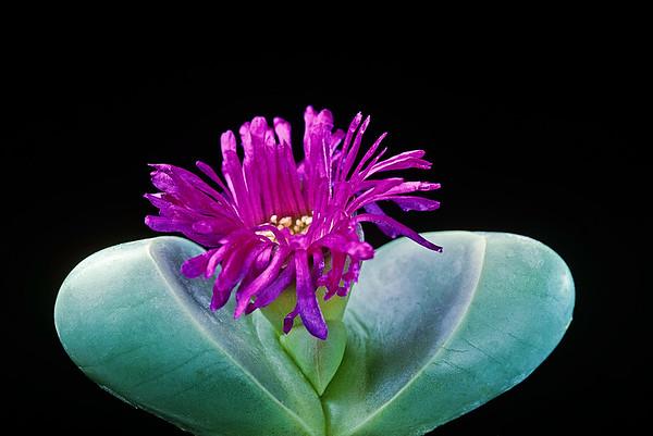 BT Flowers on Black Nr.: 42-81223276