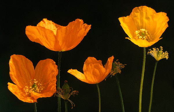 Meconopsis cambrica, Welsh poppy