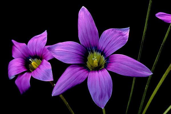 BT Flowers on Black Nr.: 42-75433221