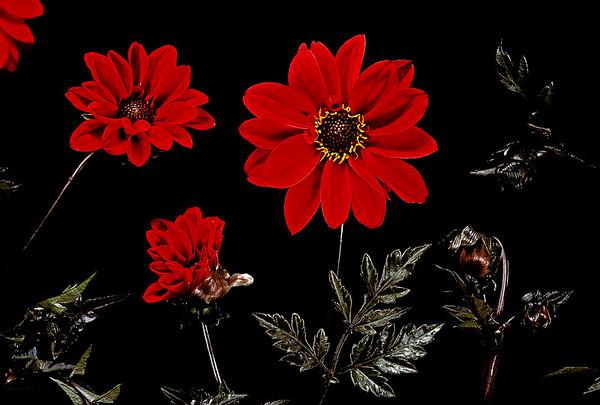 BT Flowers on Black Nr.: 42-75419761