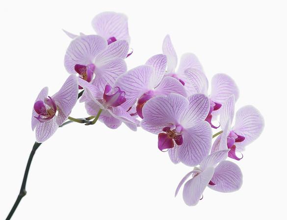 Phalaenopsis 'Shanghai', Moth orchid