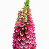 Digitalis purpurea, Foxglove