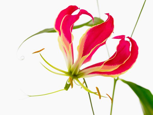Gloriosa superba 'Rothschildiana', Gloriosa lily
