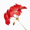 Pelargonium, Geranium
