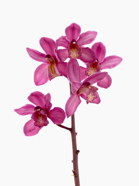 Cymbidium cultivar, Orchid