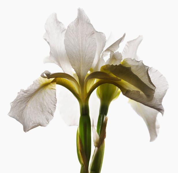 BT Flower Studie Nr.: 42-21778870
